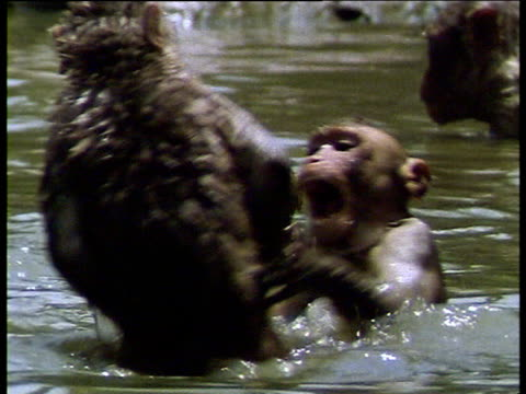 young monkeys play fighting in waterhole, one bites another - waterhole stock videos & royalty-free footage