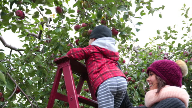 young mother and her son picking apples and having fun in orchard, quebec, canada - biting stock videos & royalty-free footage