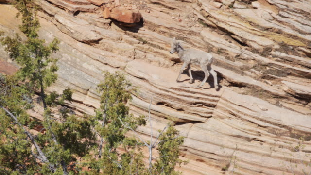 young mountain goat roaming on sandstone cliff in zion national park utah - sandstone stock videos & royalty-free footage