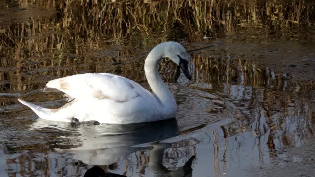 young mute swans breaking the ice on mitcham pond in surrey hd video - cygnet stock videos & royalty-free footage