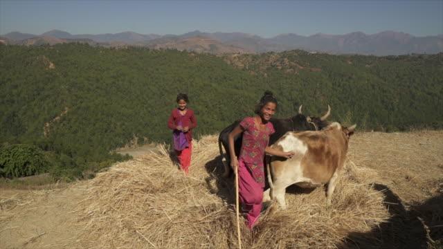 junge nepali mädchen lächeln, als sie kühe im kreis herde - nepal stock-videos und b-roll-filmmaterial