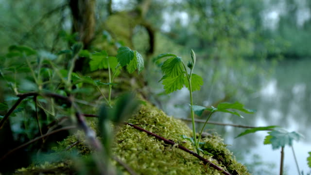 young nettle in a swamp (1080p) - nettle stock videos & royalty-free footage
