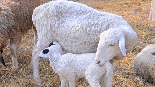 young newborn baby lamb - lamb animal stock videos and b-roll footage
