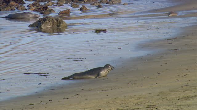 ws young northern elephant seal (mirounga angustirostris) crawling on beach near san simeon, california, usa - seal pup stock videos & royalty-free footage