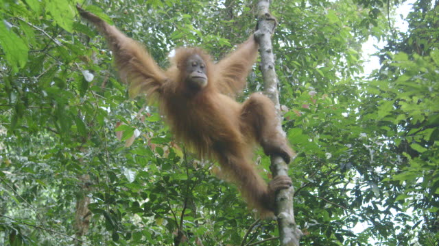 ms young orang utan swinging through trees / bukit lawang, north sumatra, indonesia - swinging stock videos & royalty-free footage