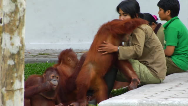 Young orangutan embraces a girls