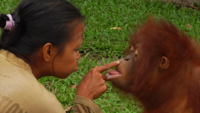 young orangutan gently kisses a girl on a cheek - borneo stock-videos und b-roll-filmmaterial