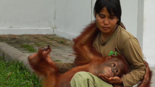 young orangutan is cuddled in a girl's arms - monkey stock videos & royalty-free footage