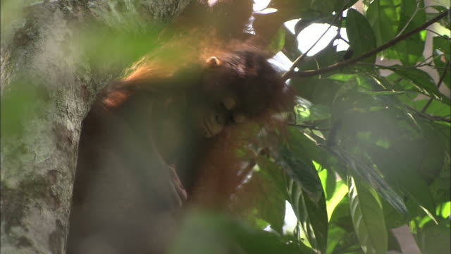 a young orangutan rests in a tree below its mother. - resting stock videos & royalty-free footage