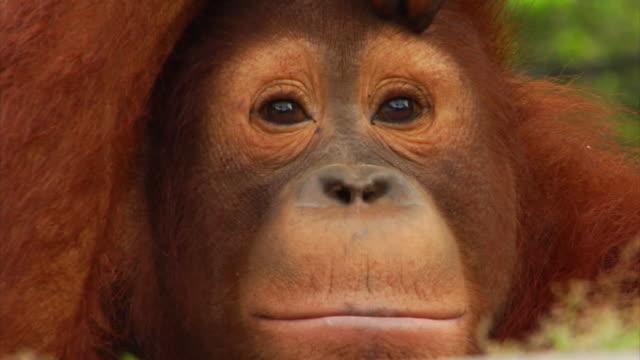 Young orangutan very close-up