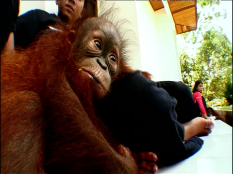 young orphan orang utan sits next to woman in tanjung puting nature reserve borneo - hair follicle stock videos and b-roll footage