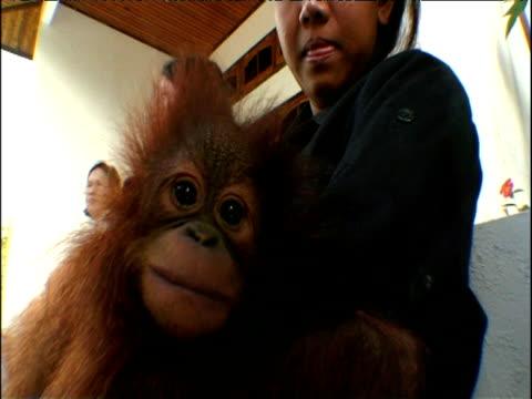 Young orphan orang utan sits with woman in Tanjung Putting nature reserve Borneo