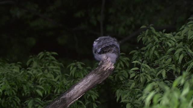 young owl - perching stock videos & royalty-free footage