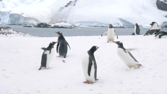young penguins playing and dancing - penguin stock videos & royalty-free footage
