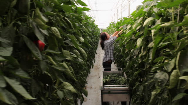 ws pan young people working in greenhouse / perth, australia - harvesting stock videos and b-roll footage