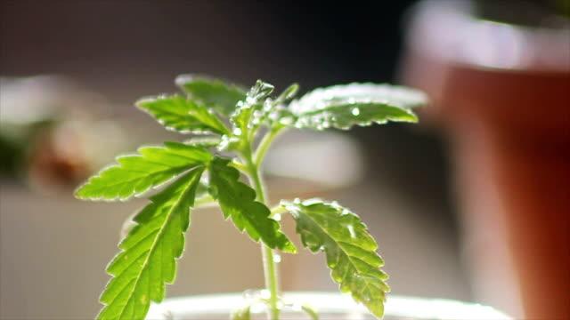 young plant of marijuana - marijuana herbal cannabis stock videos and b-roll footage