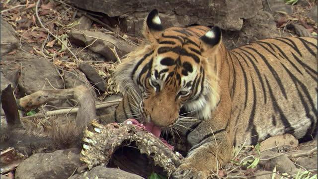 vídeos y material grabado en eventos de stock de a young powerful male tiger eating the old sambar deer carcass - medium shot - medium group of animals