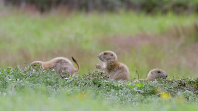 MS Young Prairie dog waiting parent in meadow / Wichita Mountains Wildlife Refuge, Oklahoma, United States