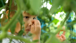 young pretty girl eats ripe tomato behind close green leaves