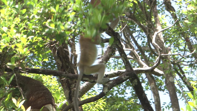 Young proboscis monkeys play in the trees in Borneo, Malaysia.