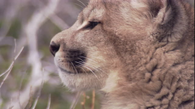 a young puma looks around. available in hd. - puma stock videos & royalty-free footage