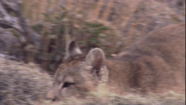 a young puma moves across a hillside. available in hd. - puma stock videos & royalty-free footage