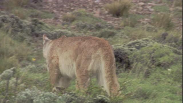 vídeos y material grabado en eventos de stock de a young puma runs to its mother. available in hd. - puma