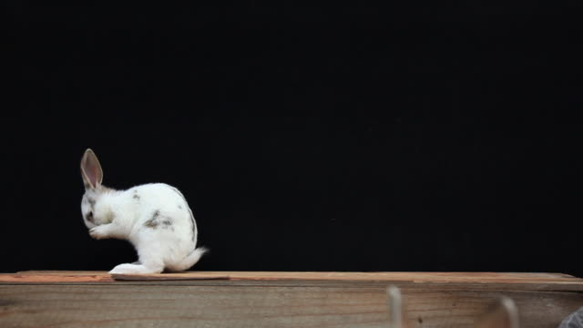 A young rabbit is cleaning itself