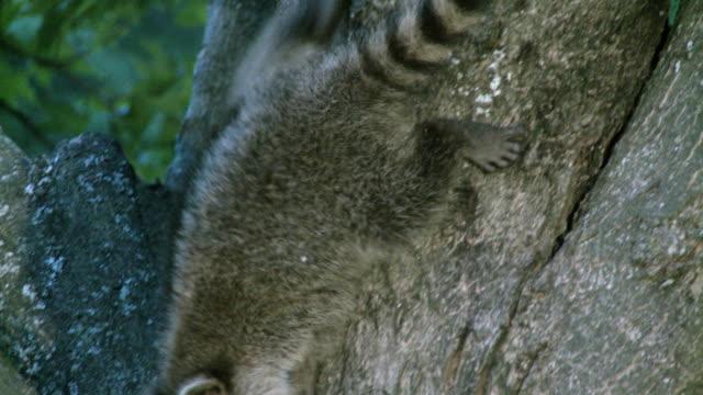 MS TS Young raccoons climbing down tree at dusk / Madoc, Ontario, Canada