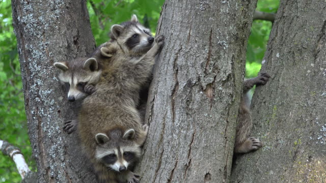 young raccoons in maple tree
