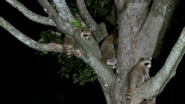 MS Young raccoons on maple tree at night / Madoc, Ontario, Canada