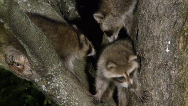 MS ZO Young raccoons playing on maple tree at night / Madoc, Ontario, Canada
