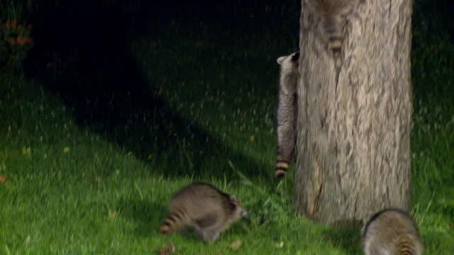 MS TU ZO Young raccoons running up maple tree at night / Madoc, Ontario, Canada