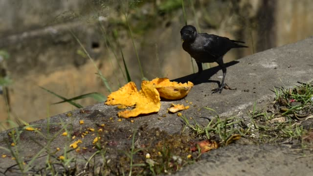 young raven eats a fruit on the roadside. - crow stock videos & royalty-free footage