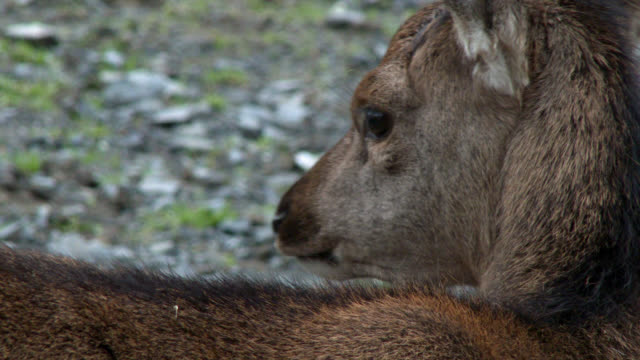 young red deer fawn in rural south west scotland - fawn stock videos & royalty-free footage