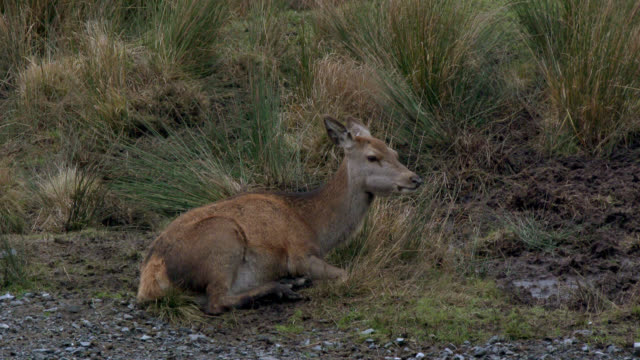 Young red deer in rural south west Scotland