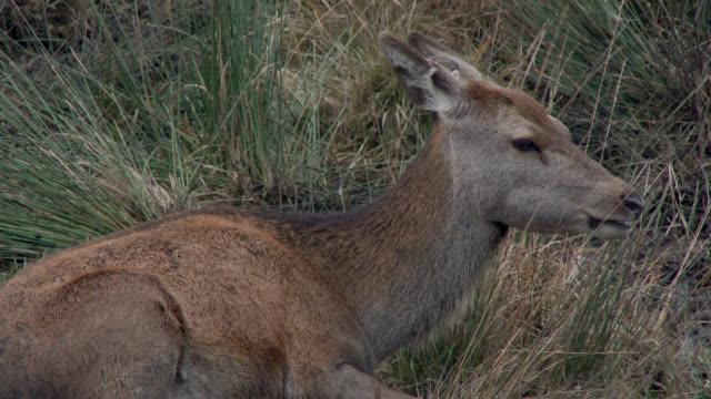 Junger Rothirsch im ländlichen Süden Schottlands