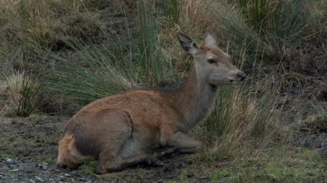 young red deer in rural south west scotland - fawn stock videos & royalty-free footage