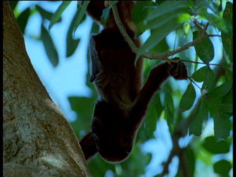 Young red howler monkey hangs upside down from branch in canopy, Brazil