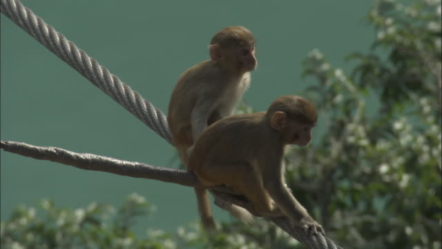 Young Rhesus macaques play on bridge cables, Rishikesh, India Available in HD.