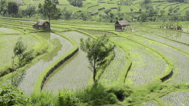 ms young rice plants in paddy field / tegallalang, bali, indonesia   - rice paddy stock videos and b-roll footage