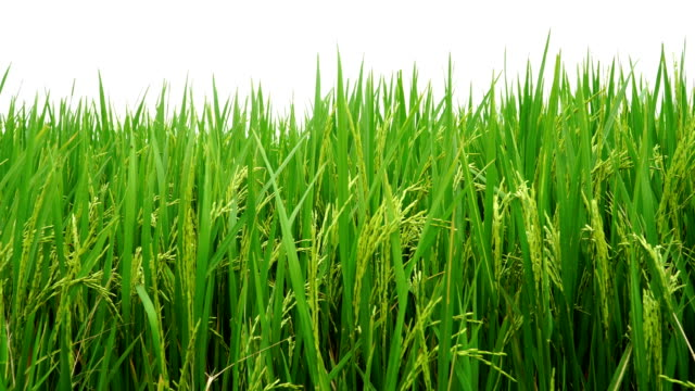 young rice swaying with strong wind blowing and waves in green field - swaying stock videos & royalty-free footage