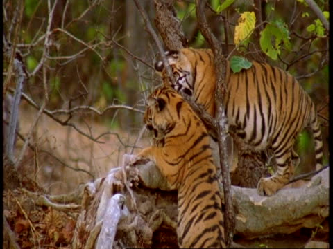 cu young royal bengal tigers play fighting in tree, bandhavgarh national park, india - national icon stock videos & royalty-free footage
