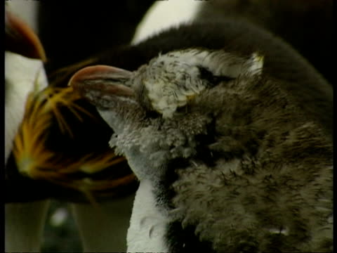 cu young royal penguin, eudyptes schlegeli, beginning to lose downy feathers, antarctica - animal's crest stock videos and b-roll footage