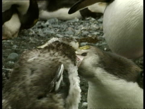 ms young royal penguin, eudyptes schlegeli, waddling around, antarctica - animal's crest stock videos and b-roll footage