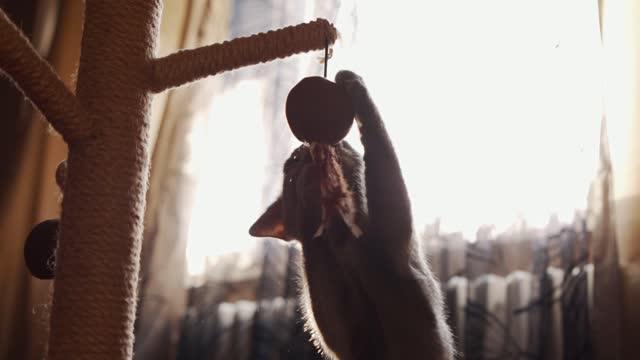 vídeos y material grabado en eventos de stock de joven gato azul ruso jugando con la pelota que cuelga en el rascador - gris