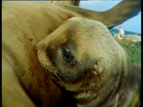 young sealion suckles from mother on beach, then lies back satisfied, new zealand - seal pup stock videos and b-roll footage