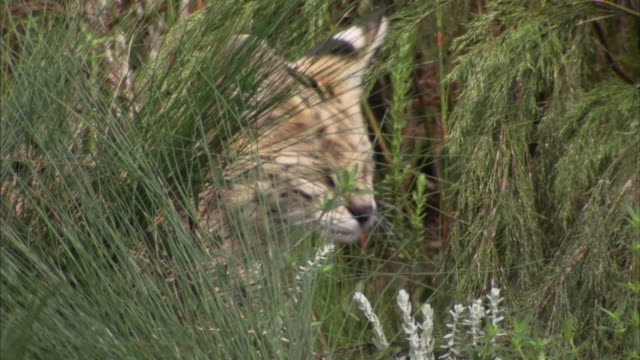 A young serval cat cleans itself in some tall grass in South Africa. Available in HD