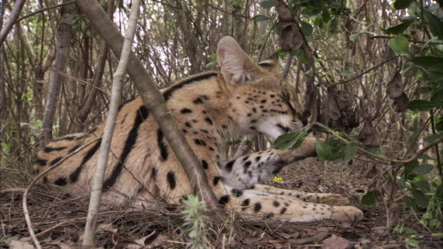 A young serval cat grooms itself in South Africa. Available in HD