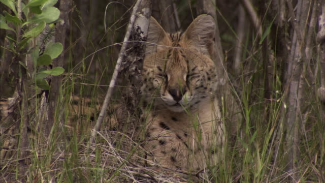 A young serval cat lounges in tall grass in South Africa. Available in HD